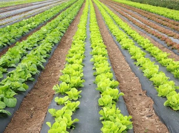 Как вырастить салат в грунт